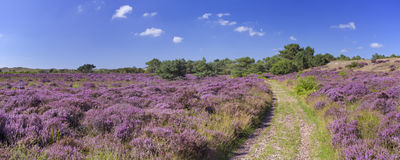 Path through blooming heather in The Netherlands. A path through blooming heather in the dunes of Schoorl, The Netherlands on a bright and sunny day stock image