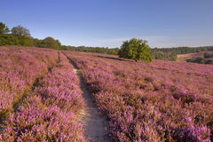 Path through blooming heather in The Netherlands. A path through endless hills with blooming heather. Photographed at the Posbank in The Netherlands royalty free stock images
