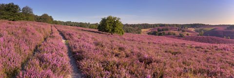 Path through blooming heather at Posbank, The Netherlands. A path through endless hills with blooming heather. Photographed at the Posbank in The Netherlands royalty free stock photography