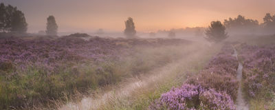 Path through blooming heather at sunrise. Path through blooming heather on a foggy morning at sunrise, photographed in The Netherlands royalty free stock photos