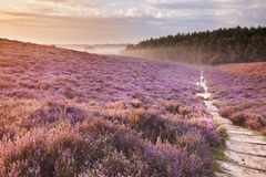 Path through blooming heather at sunrise in The Netherlands. A path through endless hills with blooming heather at sunrise. Photographed at the Posbank in The Royalty Free Stock Photos