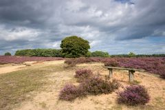 A path through blooming heather in the Veluwezoom. A path through blooming heather in the Veluwezoom, The Netherlands during a windy and sunny day royalty free stock image