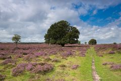 A path through blooming heather in the Veluwezoom. A path through blooming heather in the Veluwezoom, The Netherlands during a windy and sunny day stock photography