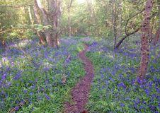 Path through bluebell wood in England. A path through a forest carpeted with bluebells in the spring time. An English wood in the spring Stock Image