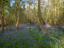 The path through the bluebell wood. On a glorious Spring day Stock Images