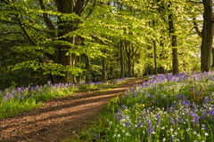 Path through Bluebell Wood Stock Image