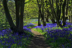 Path through Bluebell woods Stock Images