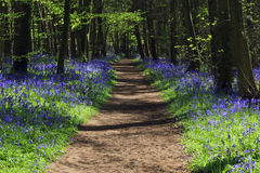 Path through Bluebell woods Stock Photos