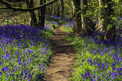 Path through Bluebell woods Royalty Free Stock Photo