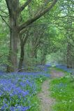 Path through bluebells. Path leading through bluebells in an English wood stock image