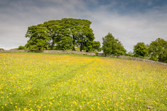 Path through buttercups to Harbottle Castle Stock Images