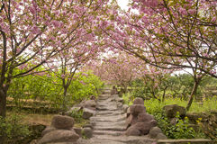 Path with cherry blossom Royalty Free Stock Photo