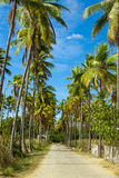 Path through of coconut palms leading to beach. Island Flores. Indonesia. Royalty Free Stock Photography