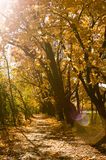 A path through colorful orange maple trees. In autumn Royalty Free Stock Photo