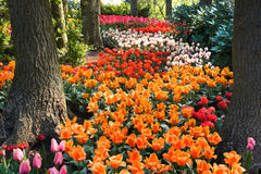 Path of colorful tulips under the trees Stock Photo