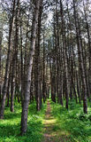 Path in coniferous forest Stock Photos