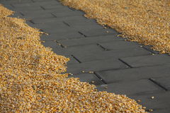 A path in the corn. Maize has been prepared on the cement plates to air dry Royalty Free Stock Image