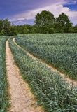 Path corn field Stock Photos