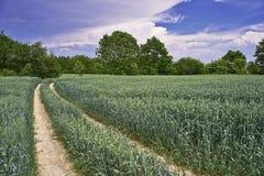 Path corn field Royalty Free Stock Photo