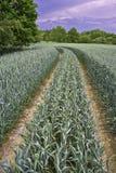 Path corn field Stock Photo