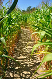 Path in a cornfield. Shadow of corn on the ground in a labyrinth of cornfield Stock Image