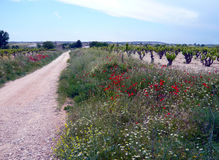 Path in countryside with vineyard, poppy and daisy flowers. Royalty Free Stock Image