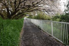 Cherry blossom petals on the path. The path is covered with cherry blossom petals Stock Photography