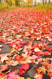 Path Covered with Maple Leaves Royalty Free Stock Images