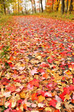 Path Covered with Maple Leaves Royalty Free Stock Image