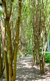 Path Through Crepe Myrtles Stock Photography