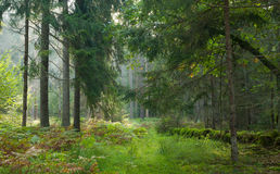 Path crossing autumnal stand of Bialowieza Forest Stock Images
