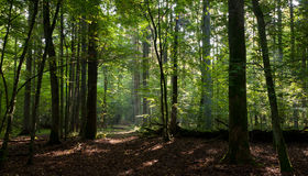 Path crossing deciduous stand of Bialowieza Forest Royalty Free Stock Photo