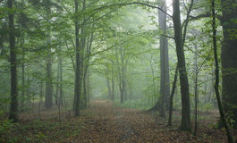 Path crossing misty autumnal forest Stock Photo