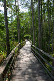Path through cypress tress forest in Florida Royalty Free Stock Images