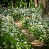 Path through a deciduous forest, wild garlic. On a sunny day in spring stock images