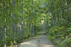 The Path. In the deep forest at summer morning Royalty Free Stock Photography