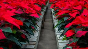 Path down red flowers. Red poinsettia flowers on wooden crates. Path down middle royalty free stock photo