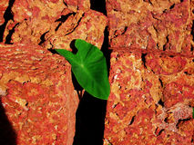 The Path Of Evolution. Green Leaf in red stone Royalty Free Stock Image