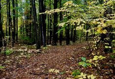 Path through Fall forest in Maine. Brown path covered with fallen leaves in a dark forest with green and yellow leaves on trees, tall young black trees royalty free stock image