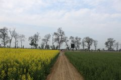 A path in a farm with mustard on one side and wheat on other stock photography
