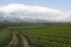 Path Through Farmlands. A small path leads through the rows of crops on Chinese farmlands with the snow covered mountains in the background Royalty Free Stock Image