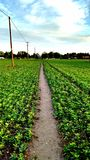 Path through fertile cropland. Green vegetable crops with straight path through the middle stock images