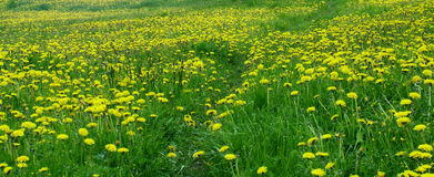 Path in a field of dandelions Stock Photography