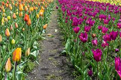 A path through a field of tulips stock images