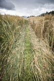 Path in a field of wheat Royalty Free Stock Image