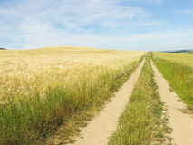 Path  between fields. Path along the corn field in the summer Stock Photography