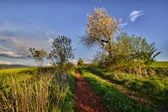 Path between fields. Rocky road between fields and pastures lined with flowering trees Stock Photography