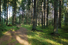 A path in the fir forest in the early summer morning, green moss and trunks of tall trees Stock Photo