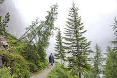 Path through the firs with a tourist walking in the rain.  royalty free stock photos