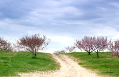 Path through flowering peach orchard Stock Photo